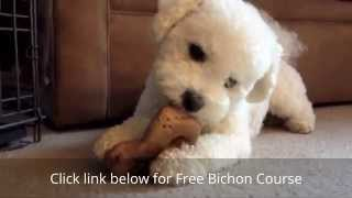 How to House Train a Bichon Frise