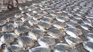 Sri Lanka,ශ්රී ලංකා,Ceylon,Dry Fish making Negombo