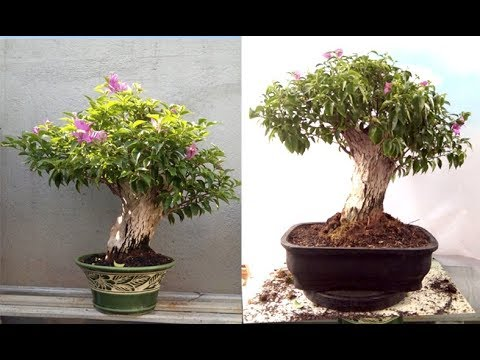 Ganti Pot Bonsai Bougenvil Bunga Ungu