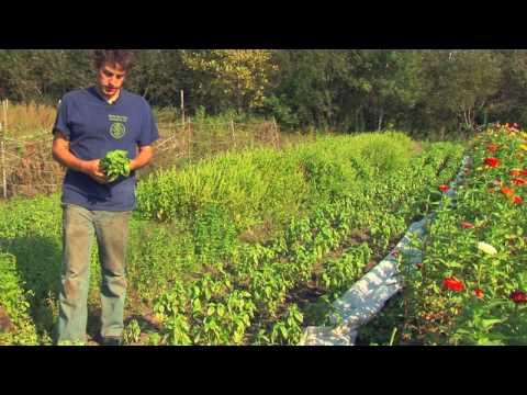 Vegetable Fruit Gardening How To Harvest Store Basil