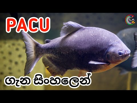 Pacu Fish CARE In Sinhala