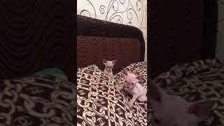 Продажа котят породы Канадский сфинкс