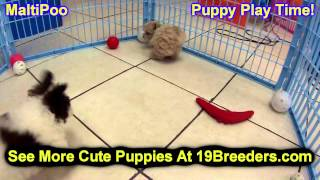 Maltipoo, Puppies, For, Sale, In, Olathe, Kansas, County, KS, Fairfield, Litchfield, Middlesex, Toll