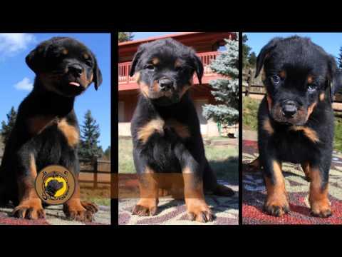 Colorado Rottweiler Puppies Von Eisenhart Rottweilers