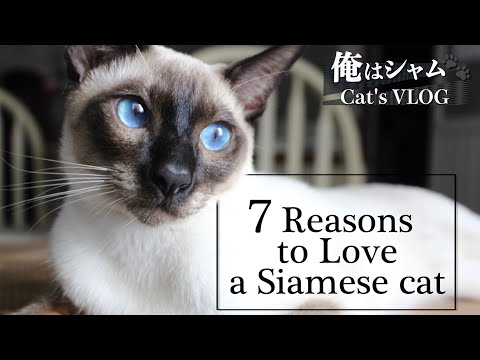 7 Reasons to Love a Siamese CatLife with a cat