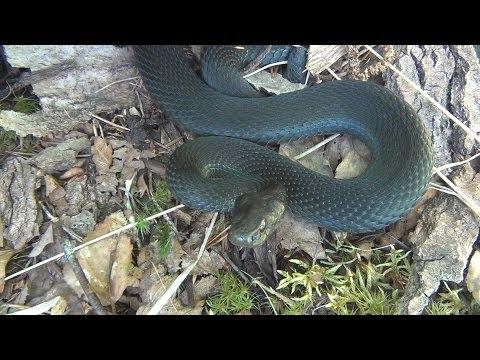 Вопрос: Какая змея не является ядовитой, гадюка или уж?