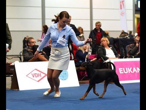 World Dog Show 2017, Leipzig, German pinscher, open сlass male