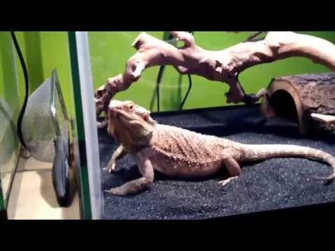 Lizard being reckless