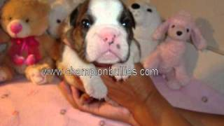 "English Bulldog Puppies For Sale In Florida â€"" Bulldo"