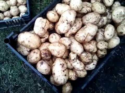 VID 20190813 140457   картофель Чародей и Тулеевский