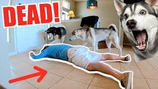 Siberian Husky vs Fake Death