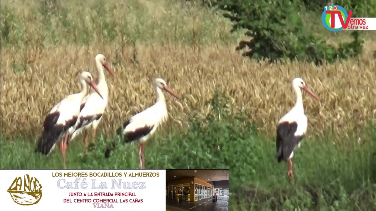 💢 Mendavia Direct🔴)) jueves  día 26..18:00 h. Cigüeña: Qué son, Qué comen, hábitat y curiosidades🌈