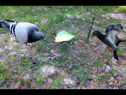 Awesome Quick Bird Snare Trap The Best Pigeon Traps