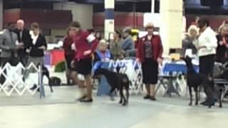 Winner's Bitch Class, Doberman Pinscher, 5 Point Major At The Fort Worth Kennel Club, 03-24-13