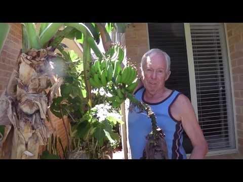 Baz's hobbies - 20M - Australia Perth Unit Garden, Bananas etc & Automatic organic feeding