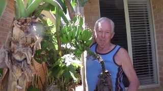 Baz's hobbies - 20M - Australia Perth Unit Garden, Bananas etc & Automatic organic feeding
