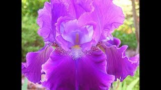 BEARDED IRISES SALE  - Beautiful German Tall Iris Gardening, Home Garden, Nursery Tips