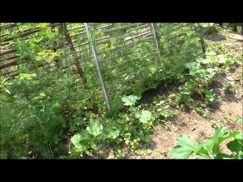 Zone 5 July 2015 Vegetable Garden Update in Upstate New York