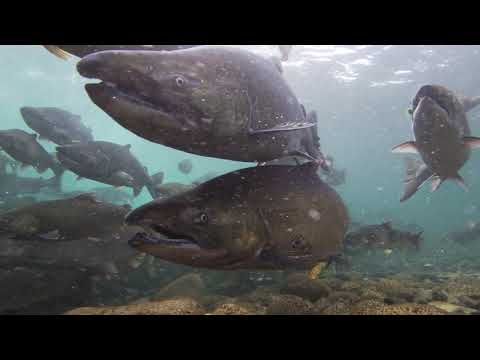 Head On With Chilliwack River Salmon