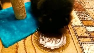 Кошки едят мороженое