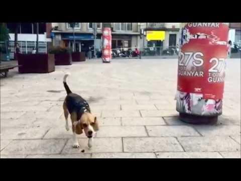 Gossos de Barcelona (Dogs of Barcelona)