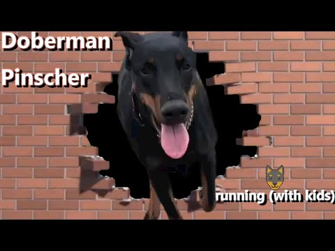 Doberman Pinscher running (with kids)