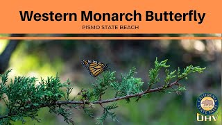 Western Monarch  Butterfly Series Intro