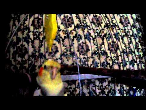 прикольный Армянский попугай