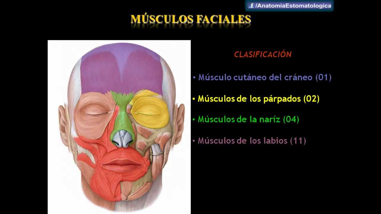 Drs. Abad & Matos - Músculos Faciales - YouTube