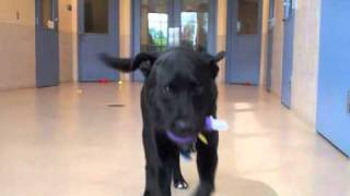 Boomer A Labrador Retriever:chow Chow Mix Available For Adoption At The Wisconsin Humane Society