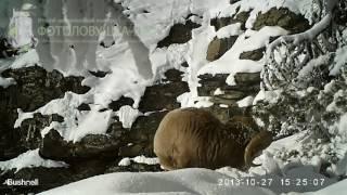 ID1064/Фонд снежный барс/Копытные/Снежный снежный баран