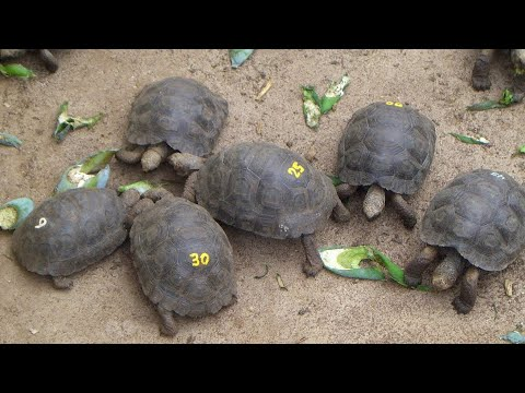 Baby Galápagos tortoises, Darwin Research Station, Santa Cruz Island, Galápagos Islands, Ecuador