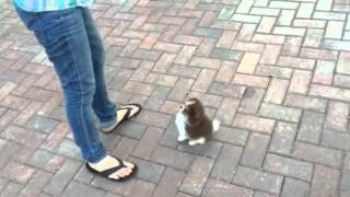 Training 8 week old Pomeranian puppy how to