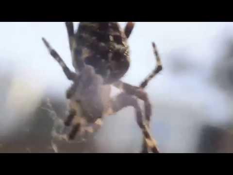 Cross Spider in Hackney