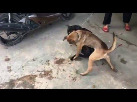 Chó cắn nhau kinh hoàng