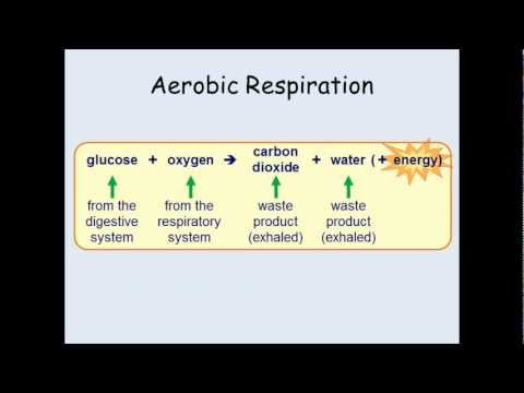 KS3 Biology - Breathing And The Effects Of Exercise.
