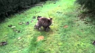 Dog & Cat Playing In The Garden Miniature Pinscher Maine Coon