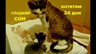 ✅ Милота котята девон-рекс
