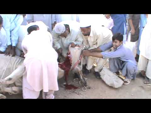 Bhat is land qurbani bulls 2011 part 3