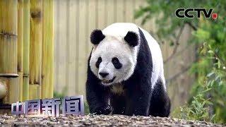 [中国新闻] 四川成都:旅加大熊猫龙凤胎回家 | CCTV中文国际