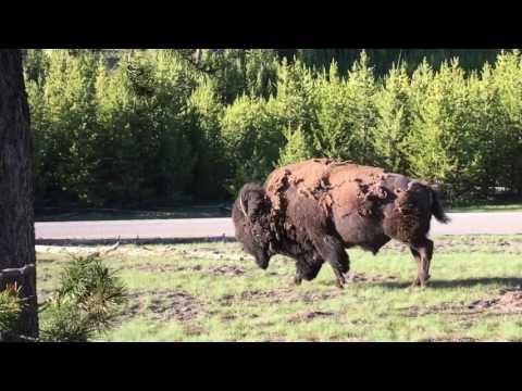 Yellowstone - Buffalo rolling in dirt rubbing off winter fur