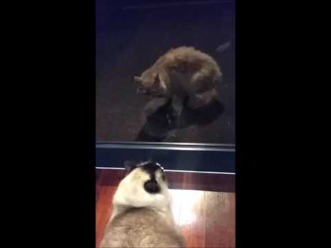Loud Meows At The Intruder! - PoathCats / PoathTV / Floppy Ragdoll Cats