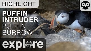 Puffin Burrow Intruder - Project Puffin - Live Cam Highlight thumbnail