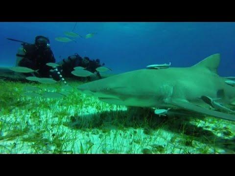nuotare con gli squali, per i sub l'avventura è alle bahamas - youtube