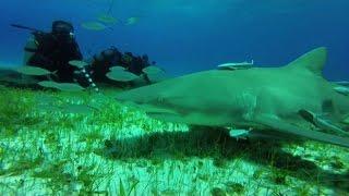 Nuotare con gli squali, per i sub l'avventura è alle Bahamas