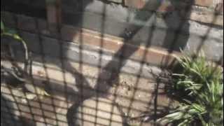 ternak branjangan jambul paten