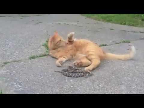 SNAKE VS CAT attack
