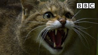 Scottish 'Highland Tiger' wildcat more endangered than Asian cousin  BBC