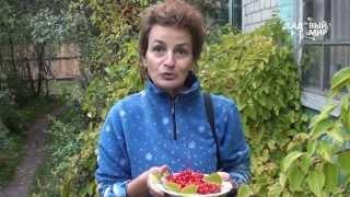 видео Лимонник или Schizandra chinensis