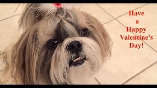 Shih Tzu Dog Lacey Wishes You A Happy Valentine's Day!